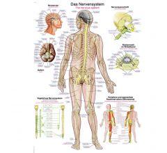 Anatomische Lehrtafel Nervensystem